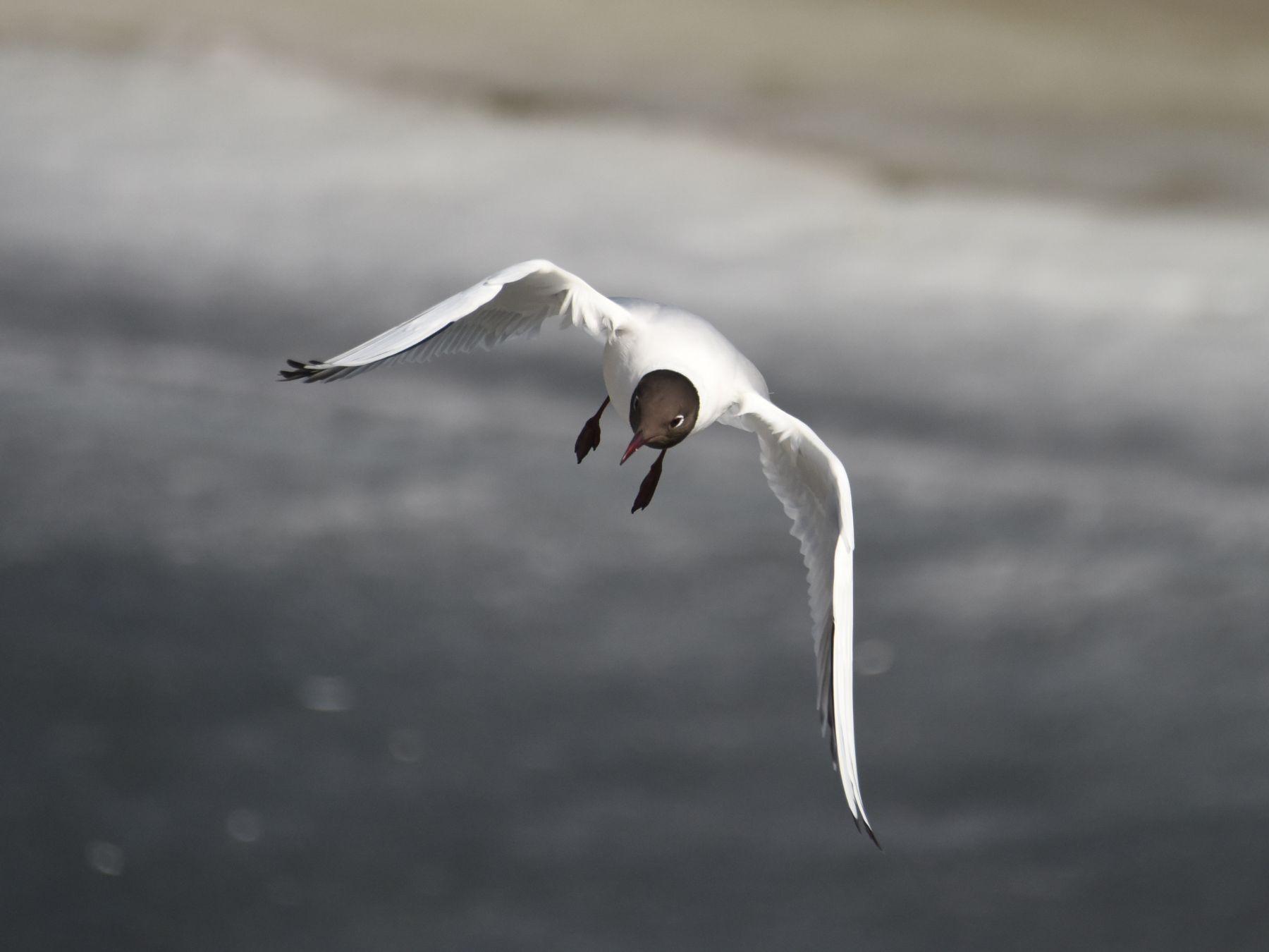 *** Чайка птица полет