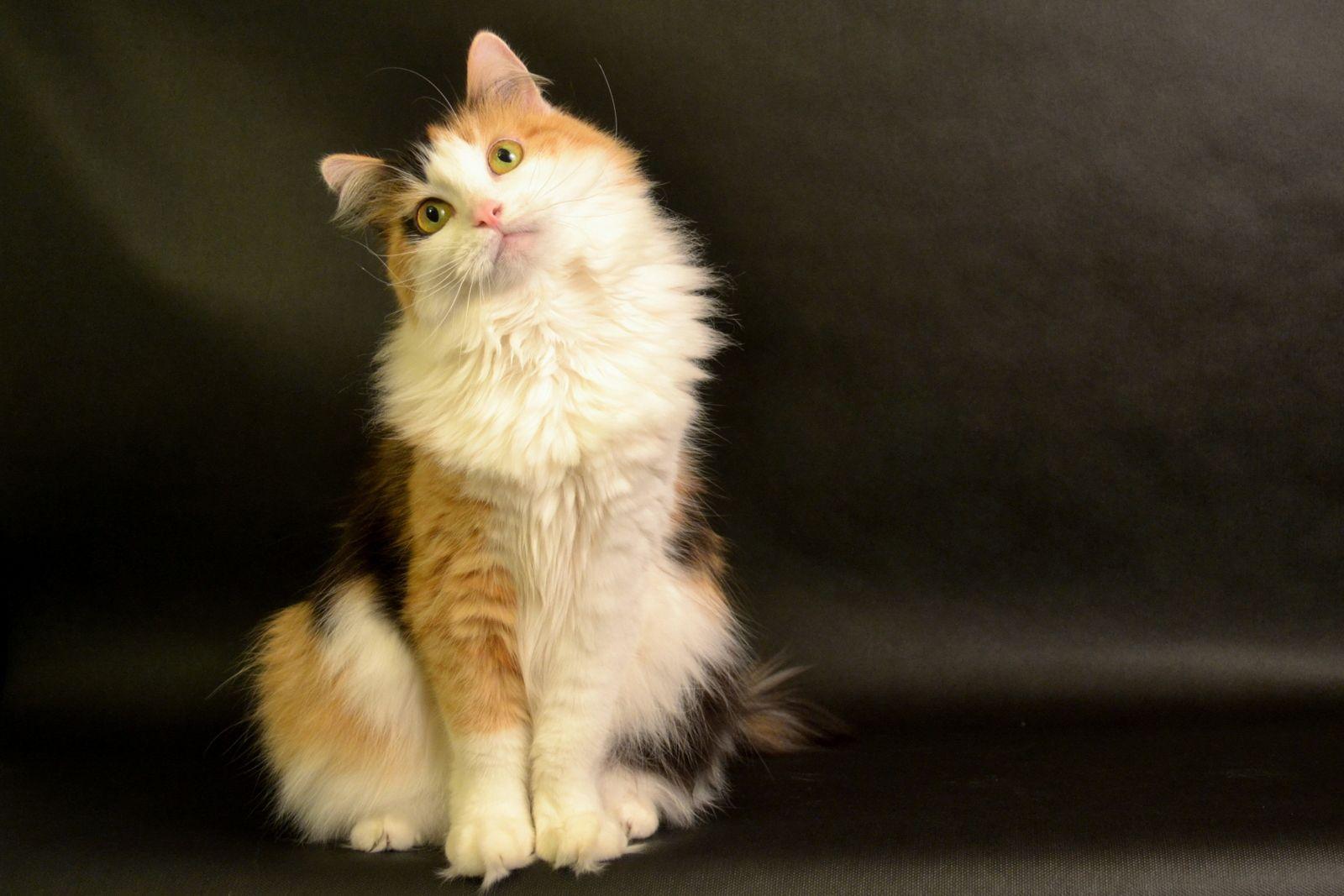 Буся, беспородная кошка