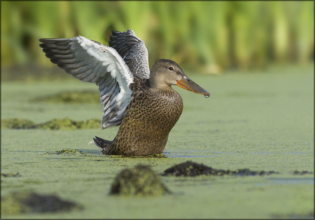 Широконоска утка широконоска самка болото взмах