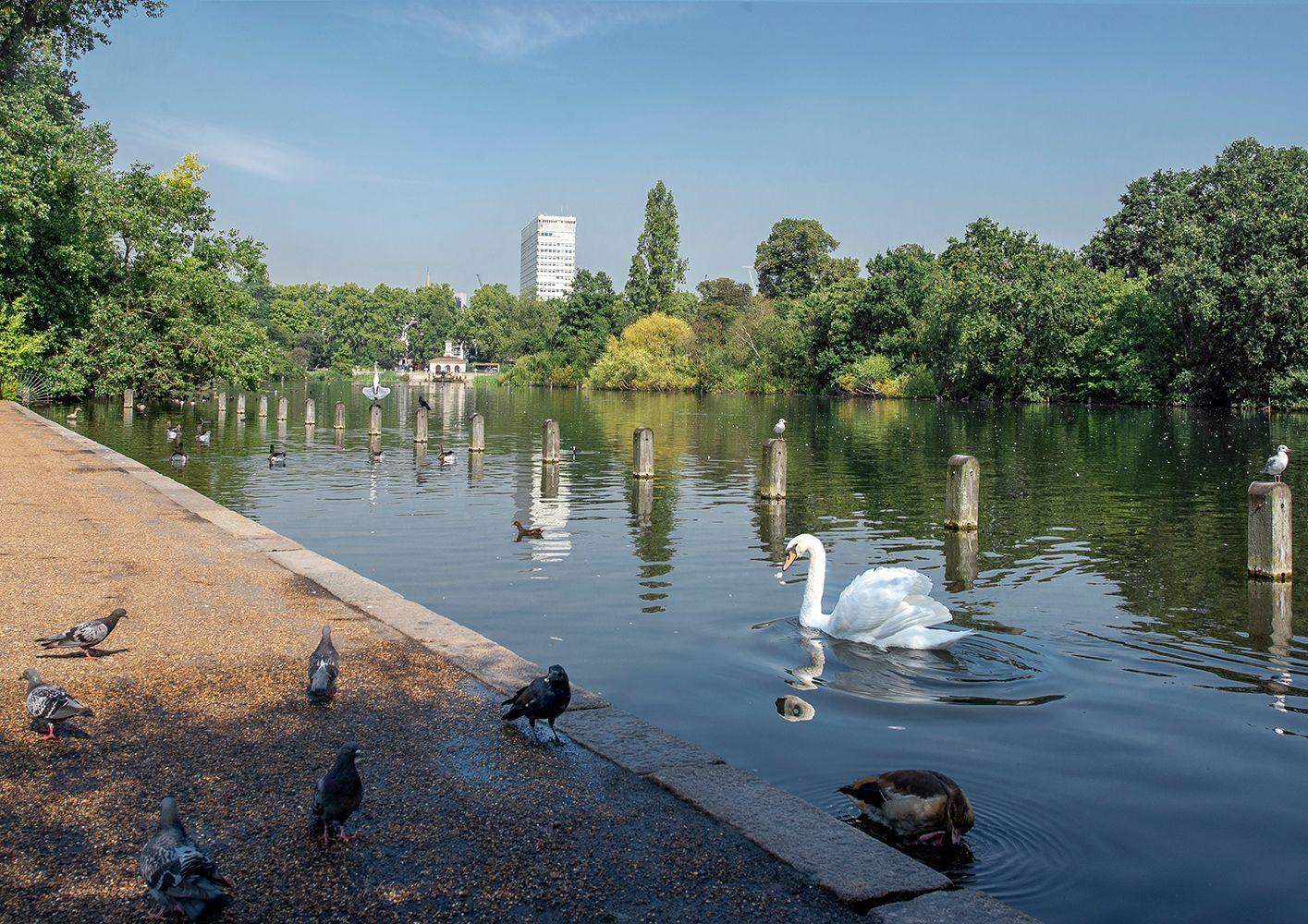 Хозяин территории! Лондон Гайд-Парк пруд лебедь