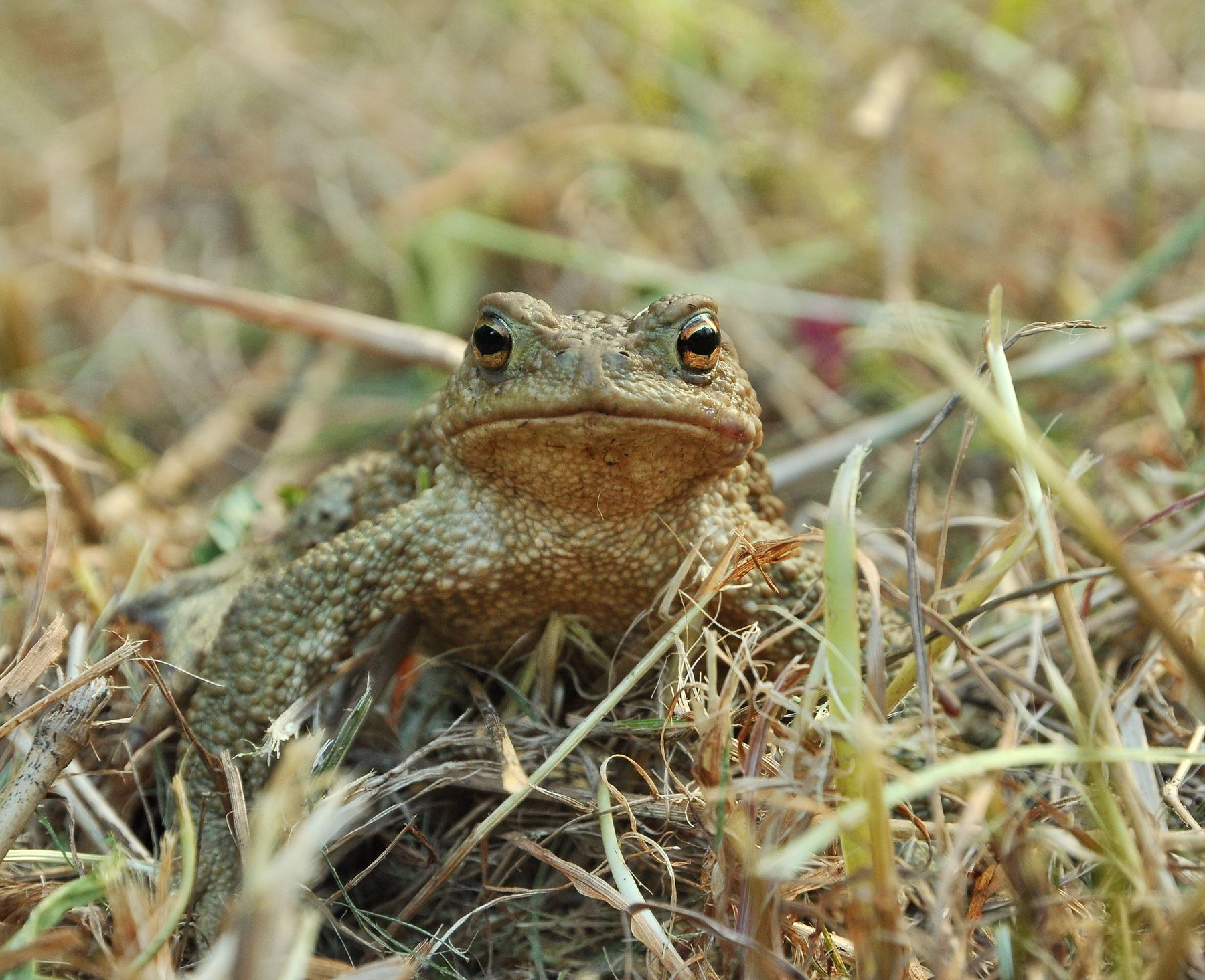 Жаба Nikon природа земноводные жаба