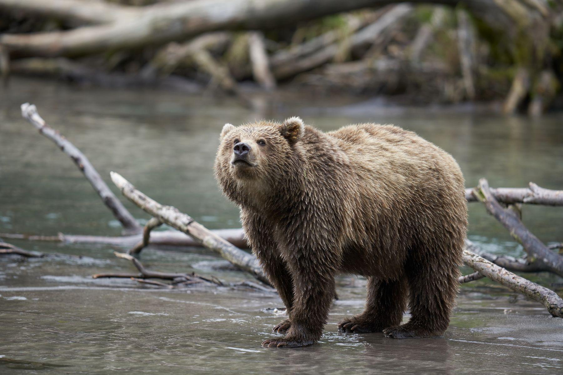 Нюхач Медведь Камчатка Южнокамчатскийзаказник Нюхач SAL-300F28G