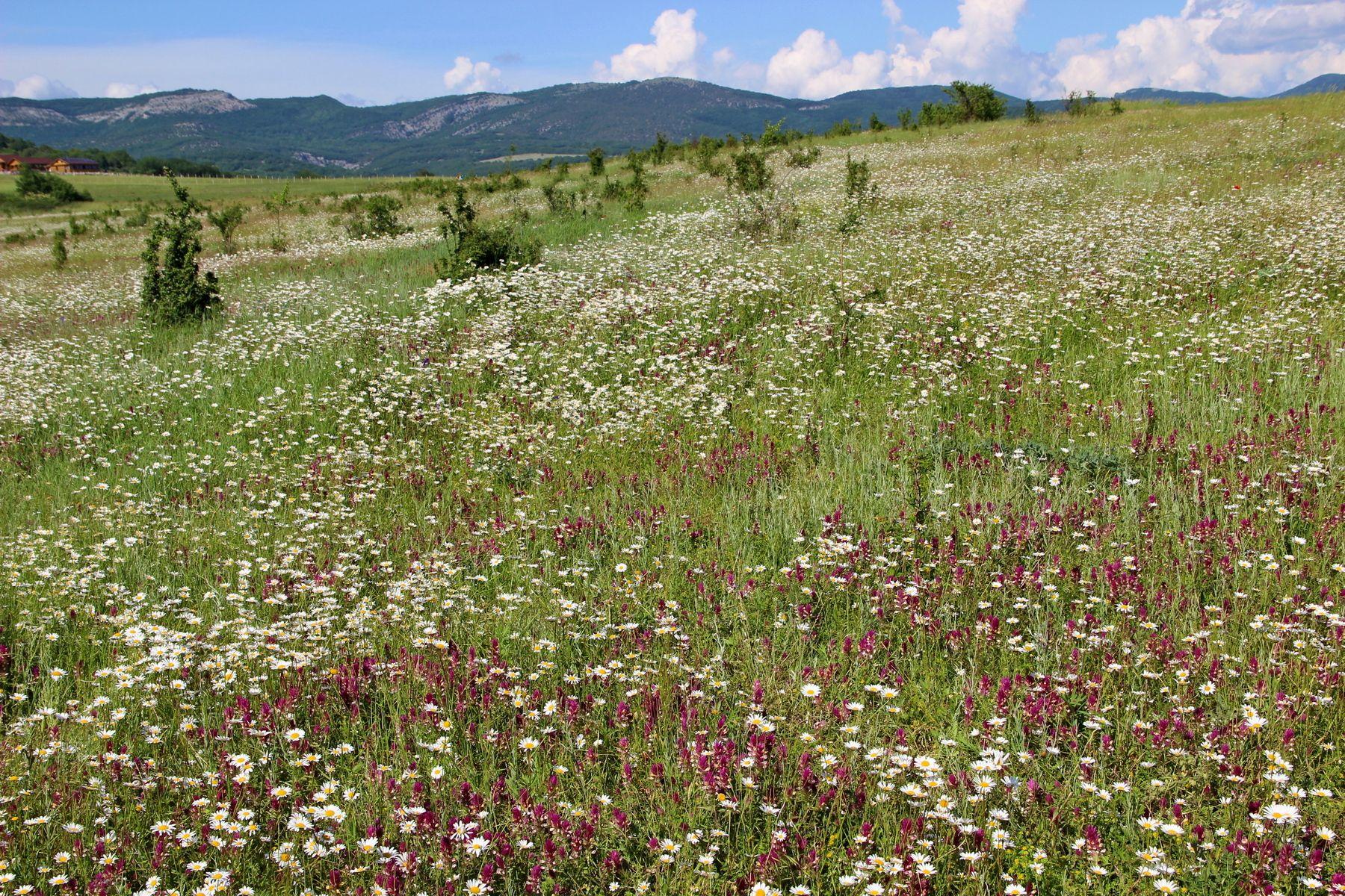 В царстве цветов цветы ромашки поле долина байдарская