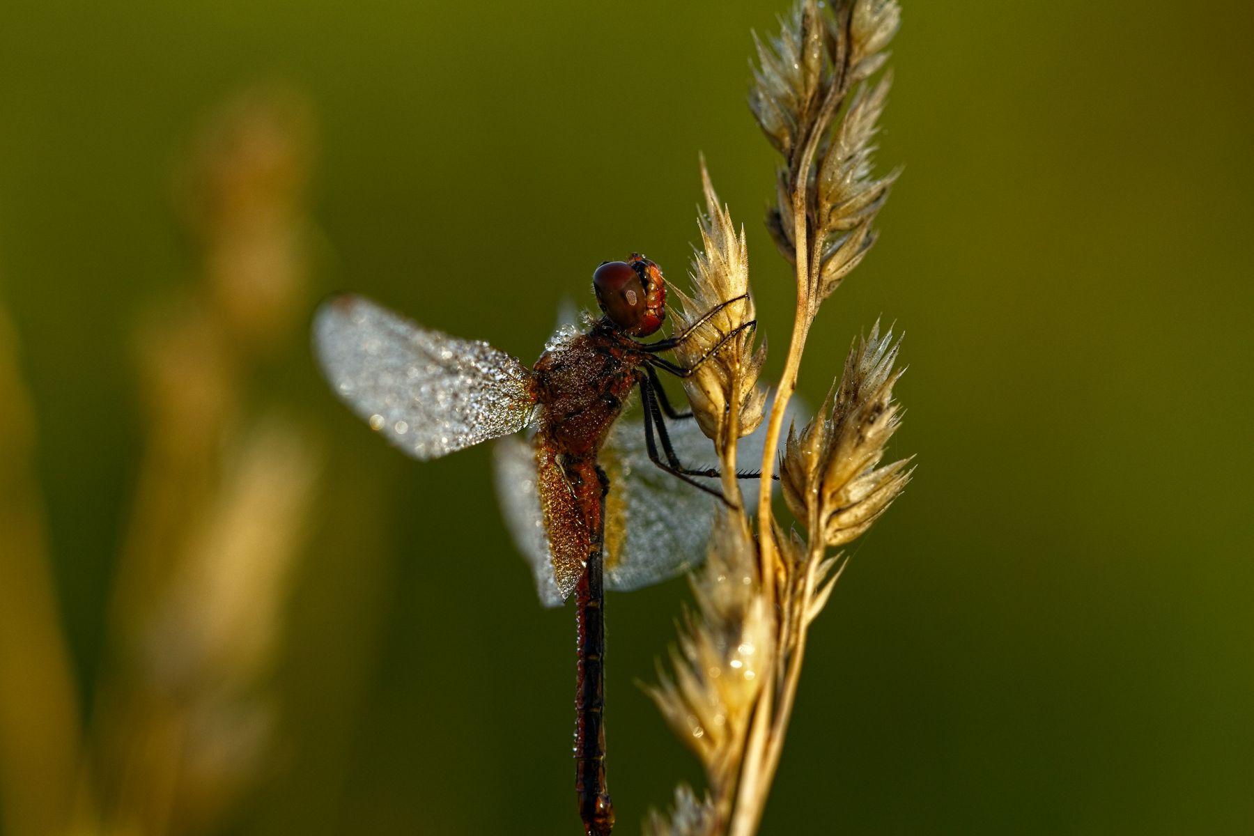 в холодной утренней росе) лето раннее утро роса стрекоза макро