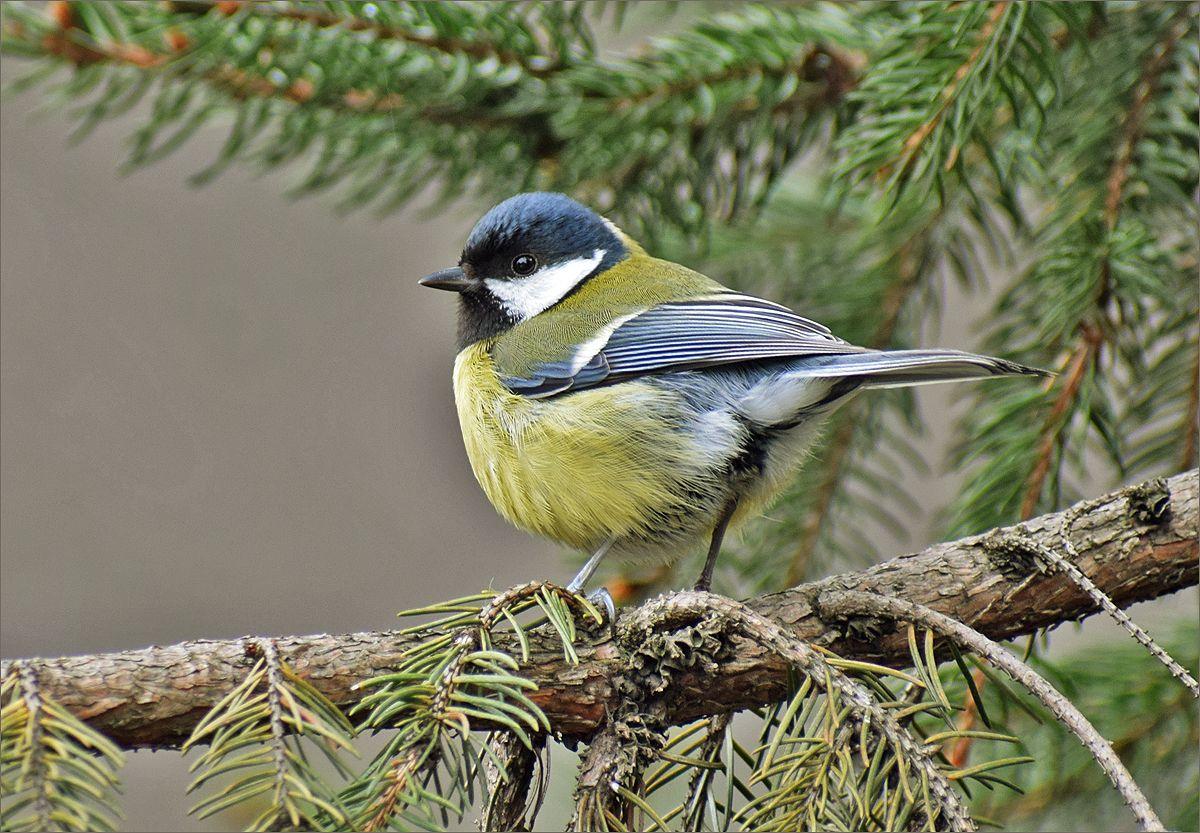 большая синица синица самец птица Польша парк весна Бытом большая