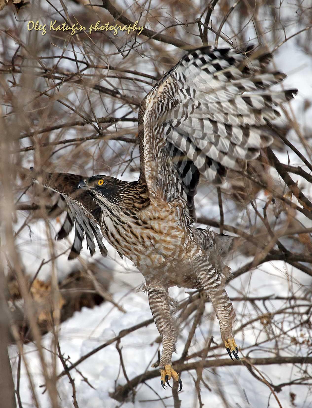 Хохлатый орёл, взлёт Хохлатый орёл Владивосток
