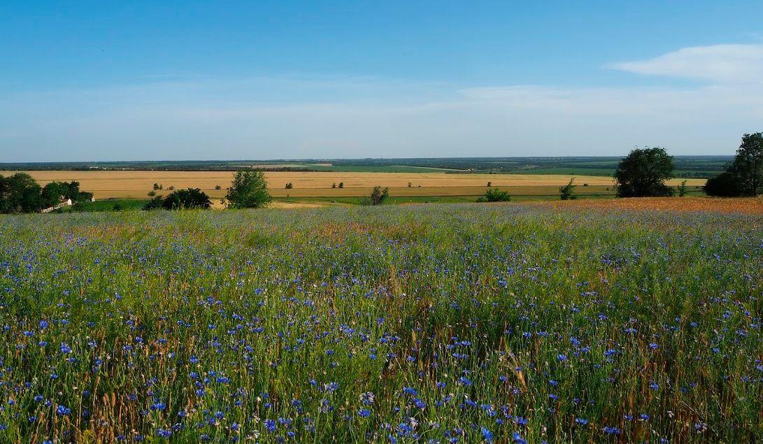 По васильковой, синей тишине... пейзаж цветы природа