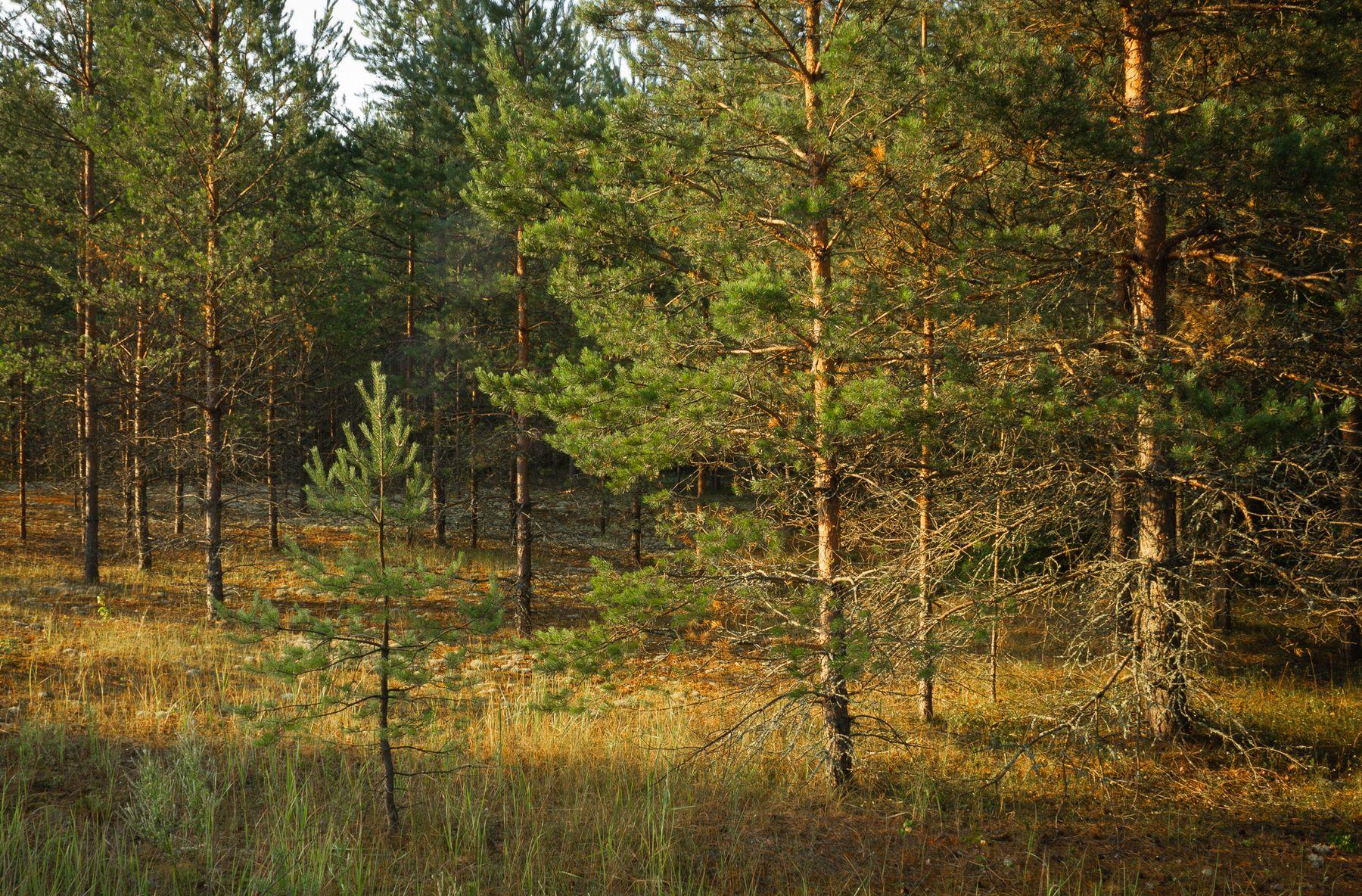 Утро в сосновом лесу лес рассвет утро