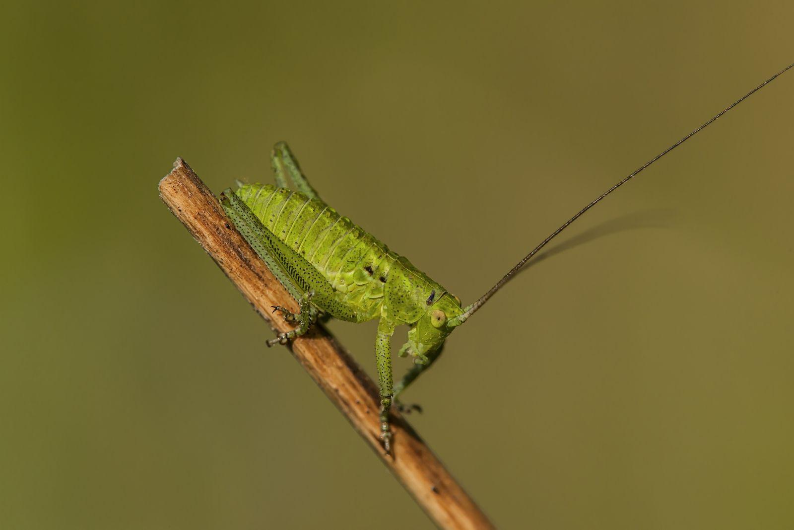 Кузнечик Насекомые фото насекомых кузнечика кузнечик