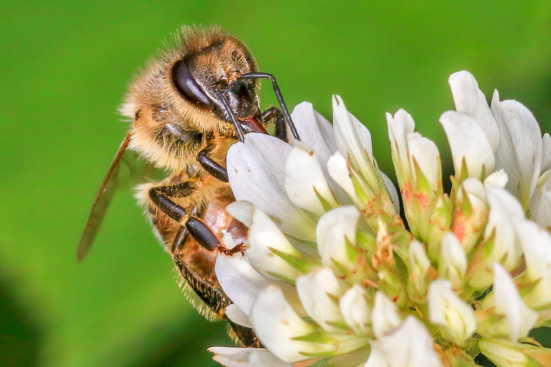 Пчела на работе макро лето canon 70d пчела