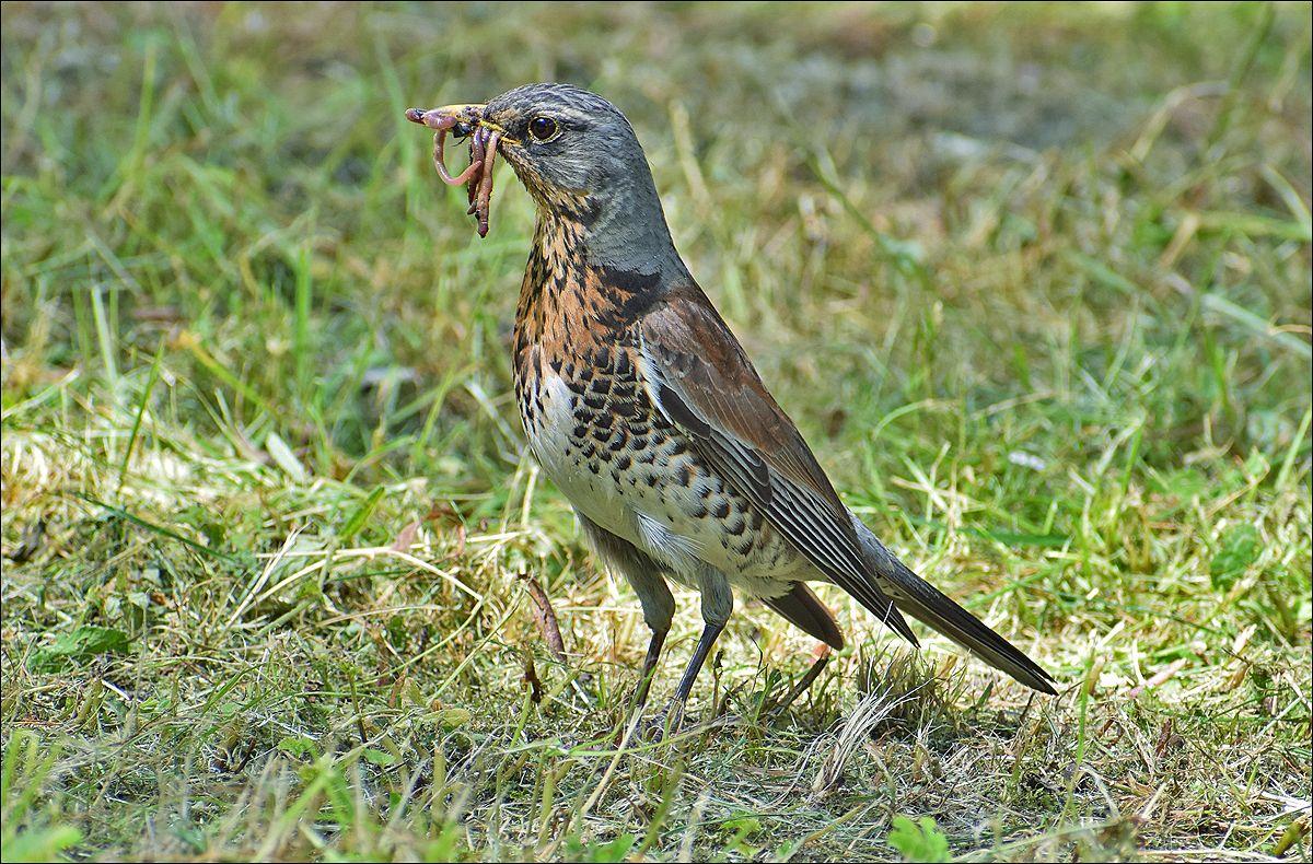 рябинник рябинник птица Польша парк лето корм дождевые червяки Бытом