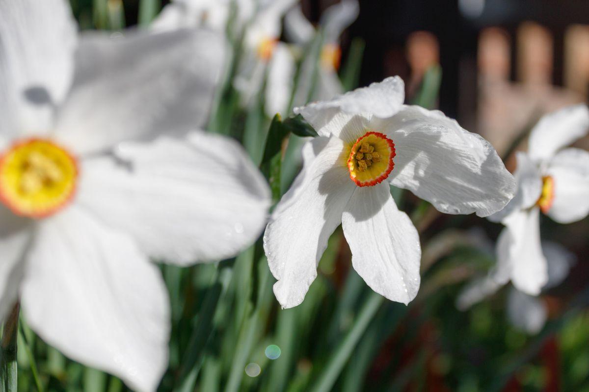 Нарциссы нарцисс весна солнце утро