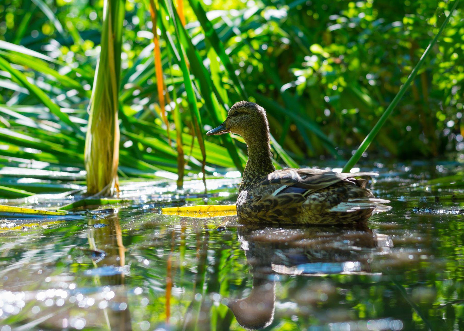 Кряква Кряква утка птицы фотоохота Сибирь