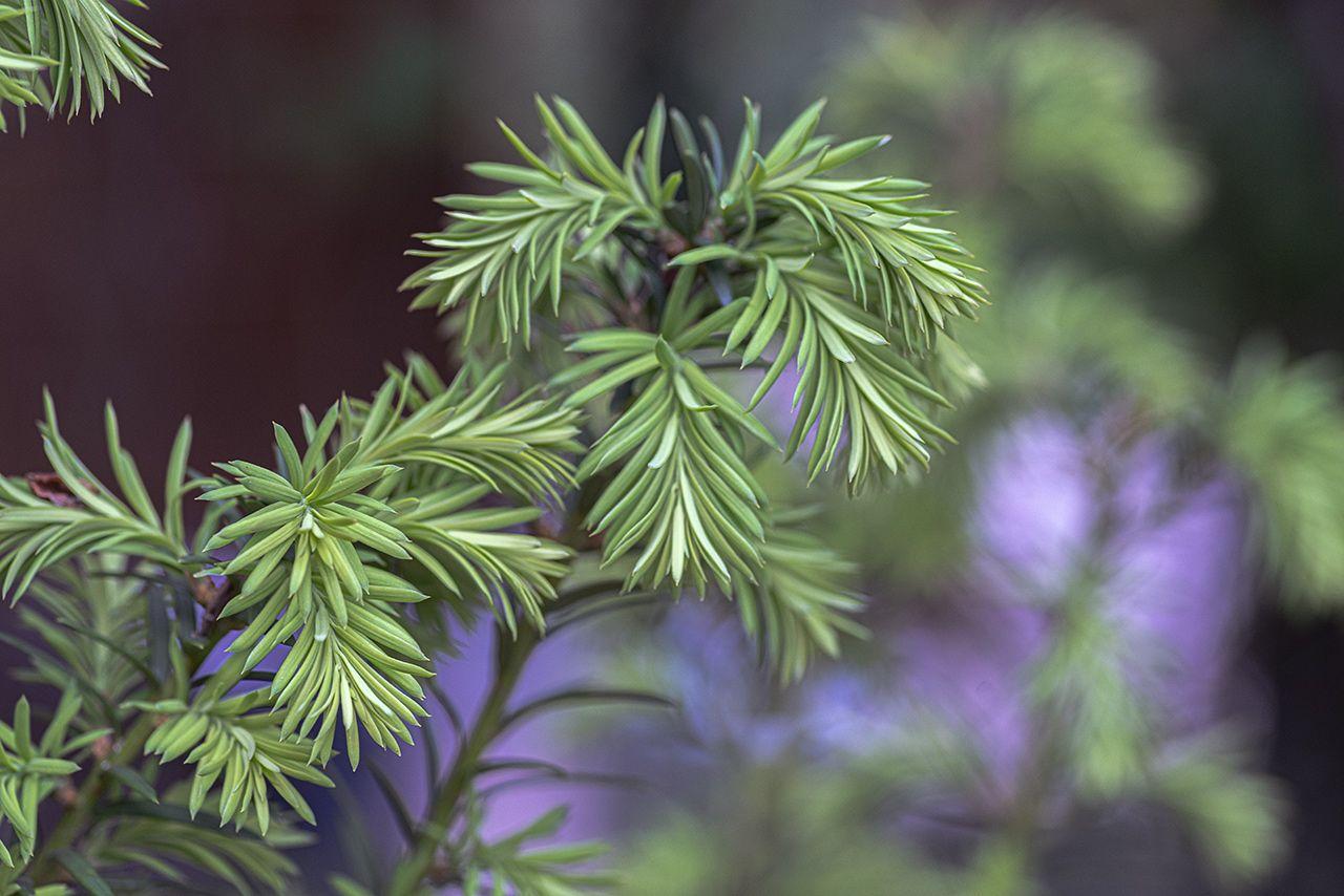 Красота молодой зелени Тис ветка красота молодая зелень