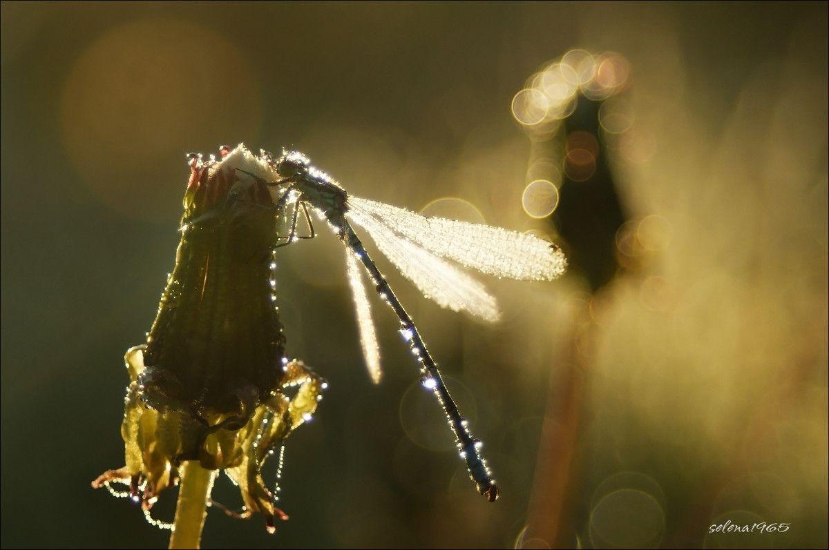 Королева стрекоза. природа утро роса стрекоза