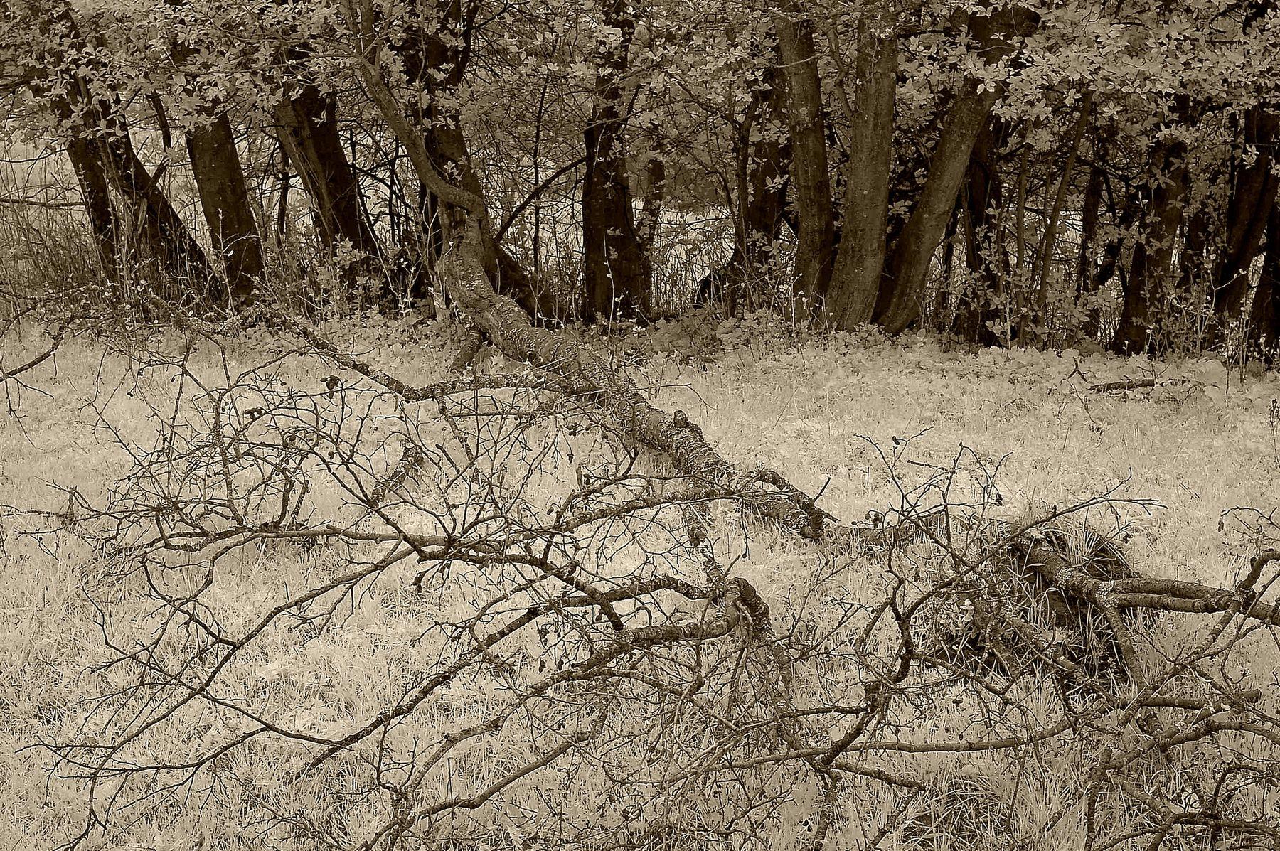 Аналог короны....Ярославская губерния.Р.Ф.  2020 г. от Р.Х. Монохромная инфракрасная фотография. Инфракрасная фотография