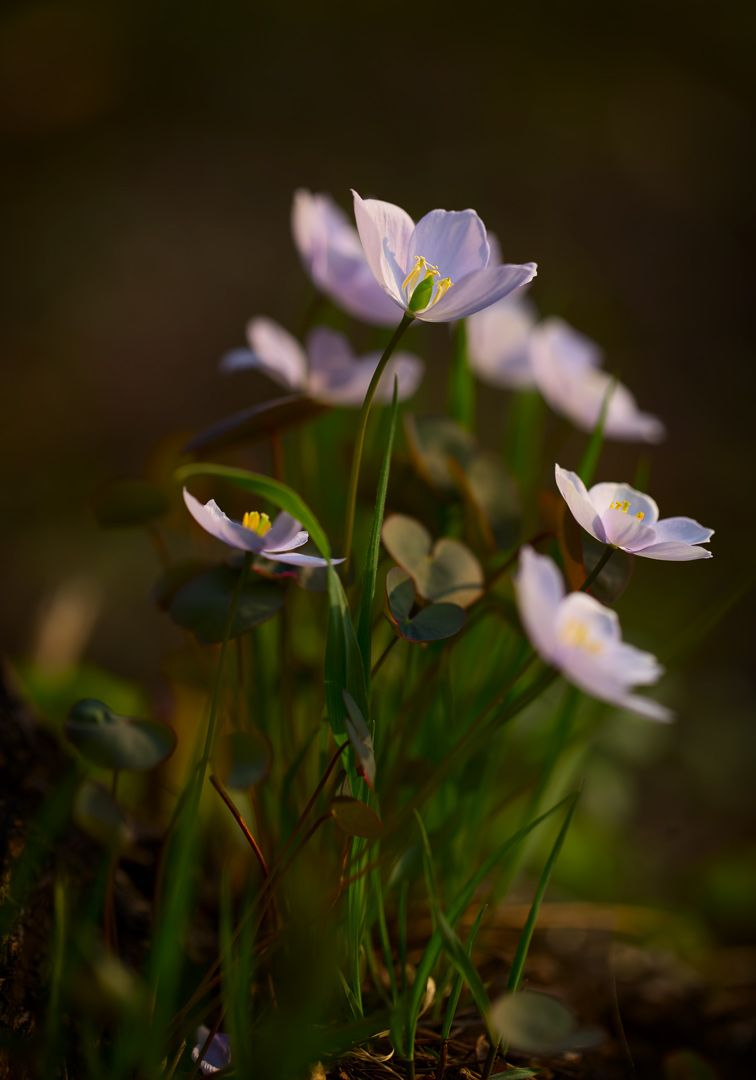 С Праздником Весны! весна лесные цветы Приморский край