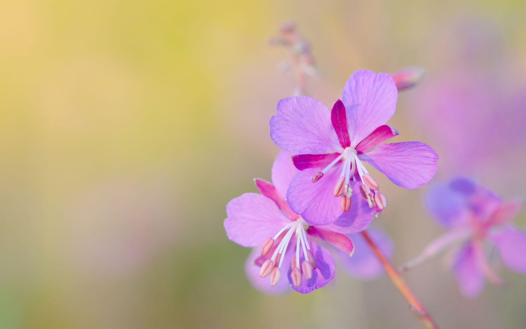 ИВАН-ЧАЙ - ЭТО ИЮЛЬ! полевые цветы Иван-чай