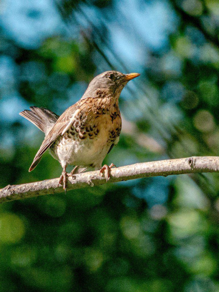 Дрозд-рябинник Птицы лес природа