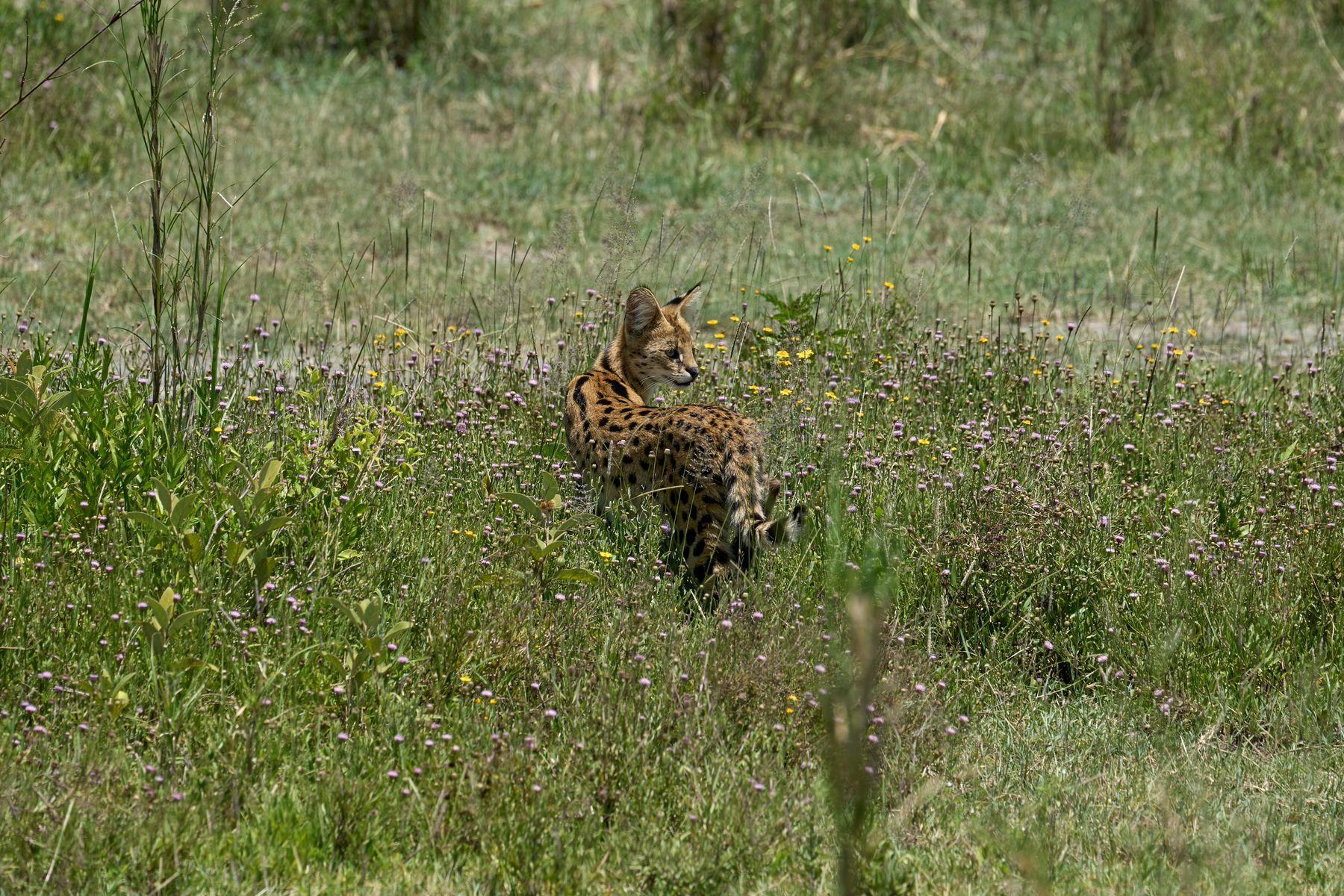 Сервал Танзания Нгоронгоро Африка природа животные кошки сервал