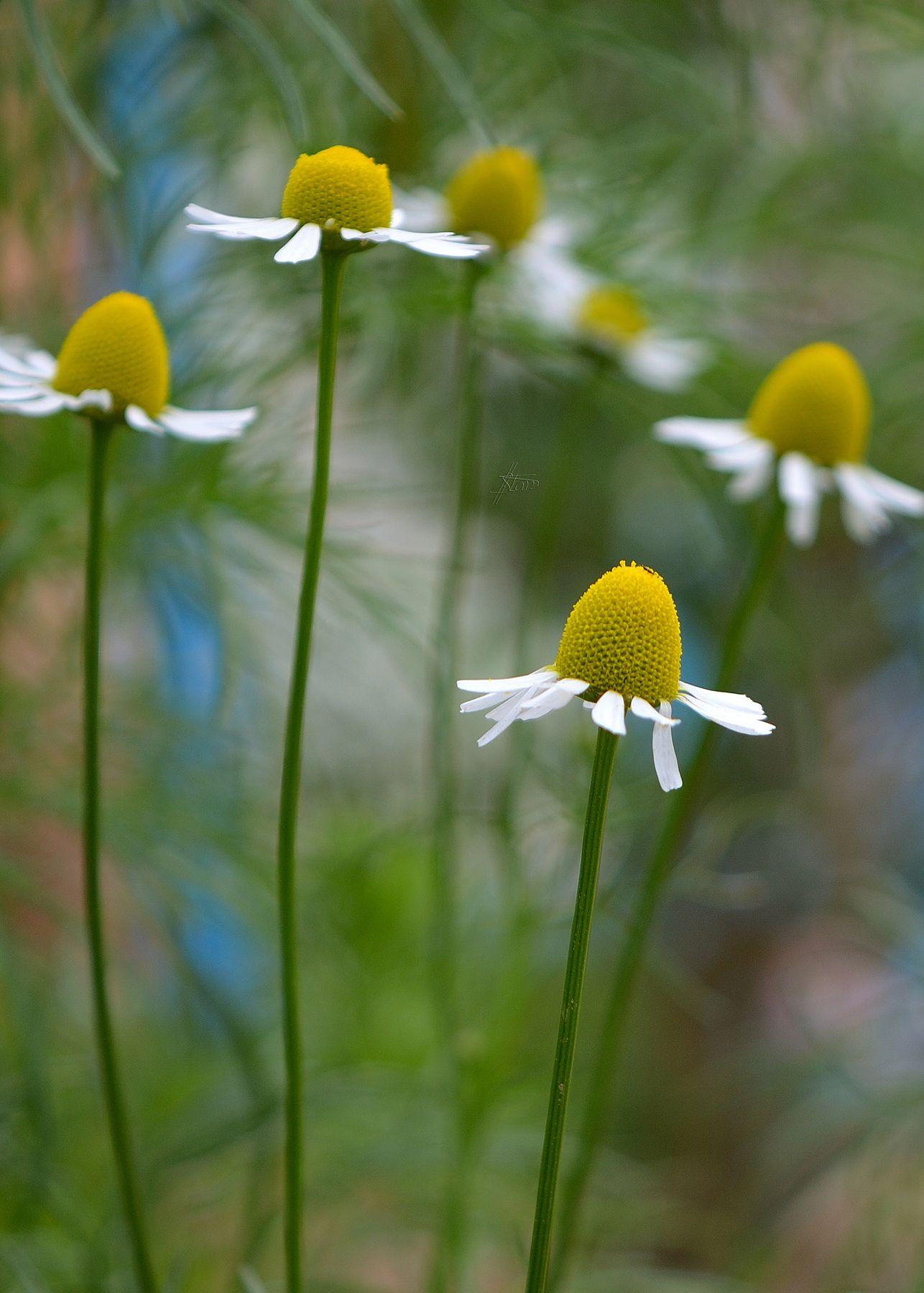 Ромашковый балет природа весна май ромашки