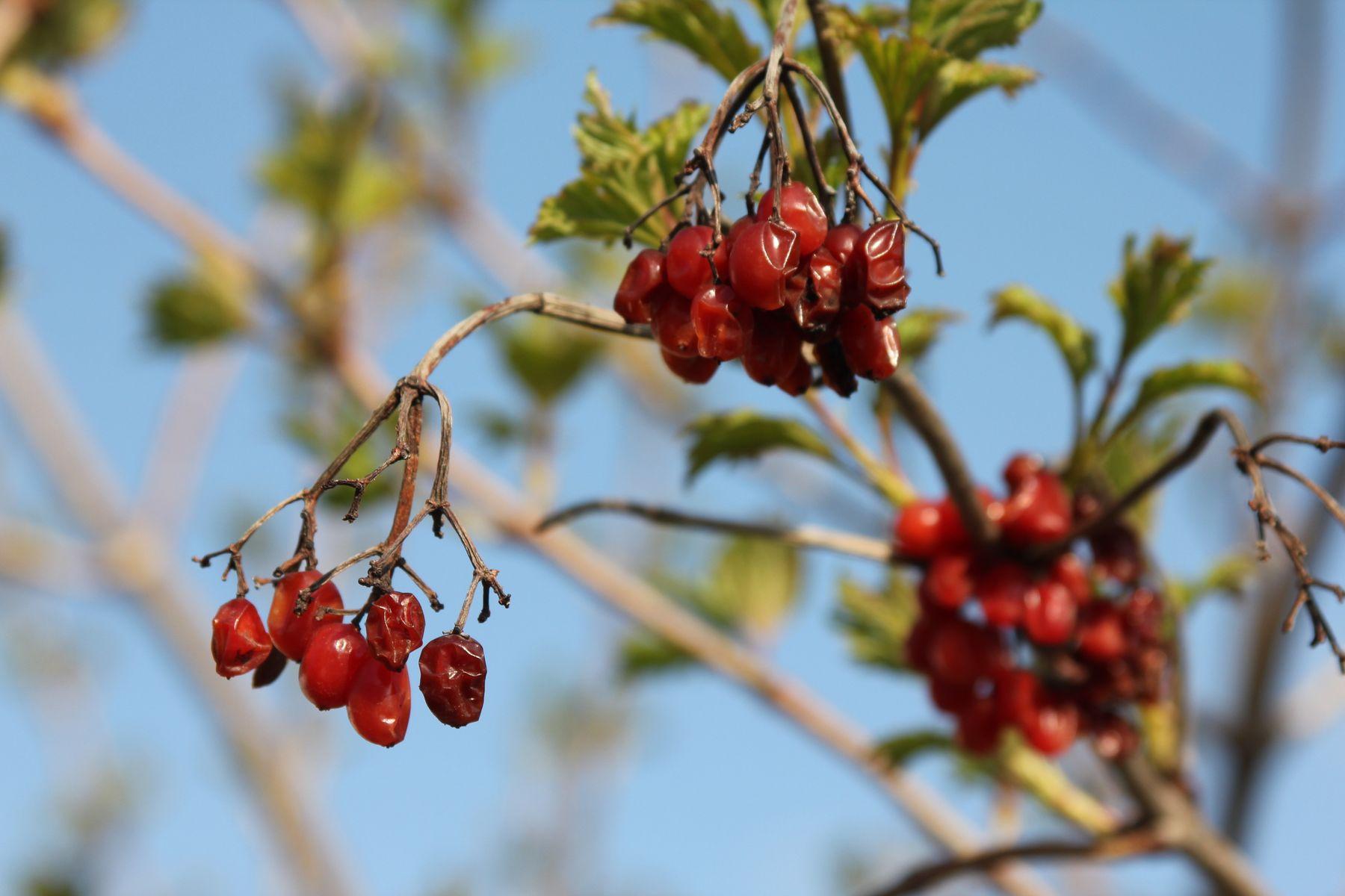 Калина Калина природа весна цветение растение