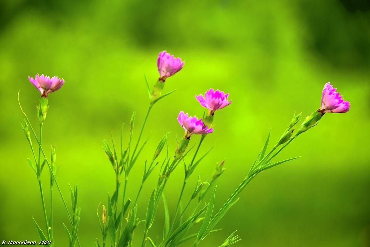 Гвоздики полевые природа.лето цветы.гвоздики