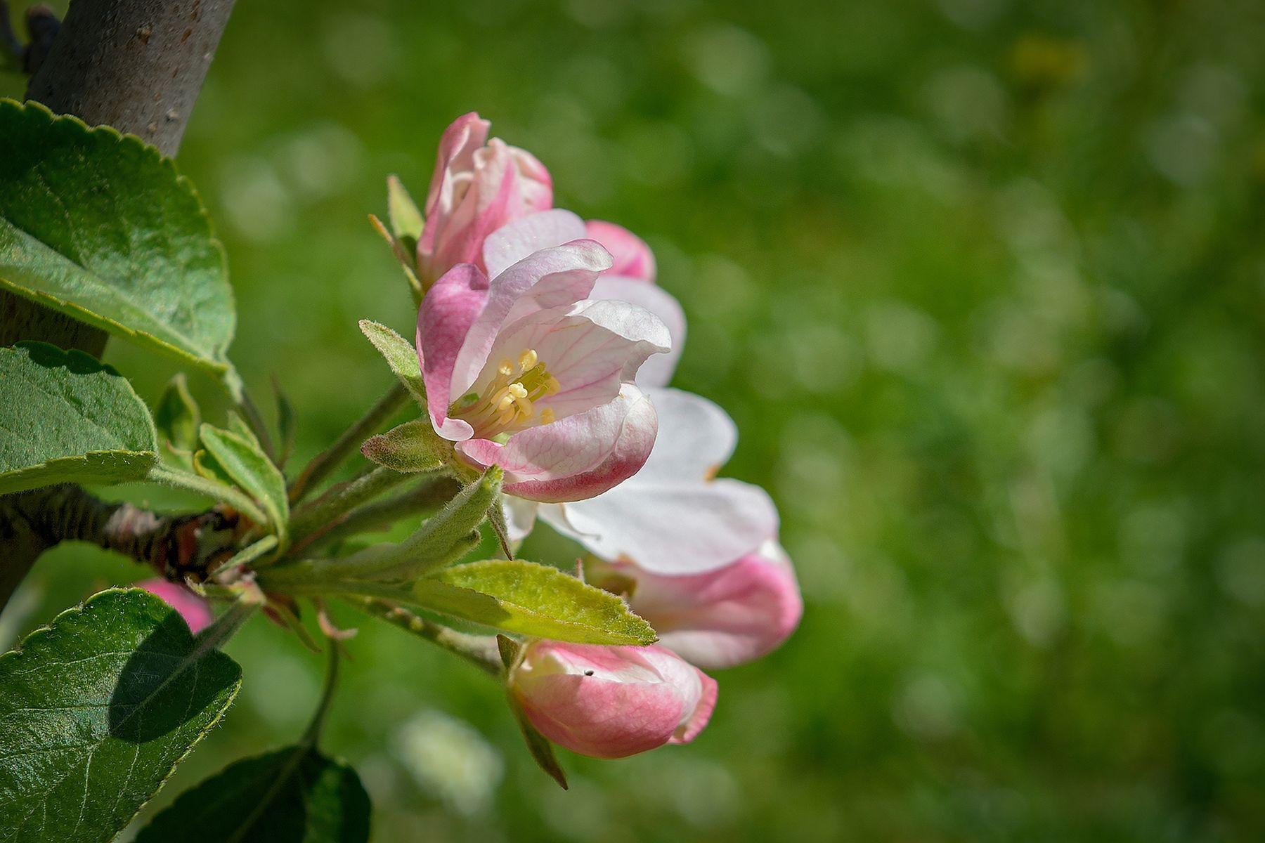 Яблоневый цвет природа весна апрель цветение яблоня яблоневый цвет букеты природы