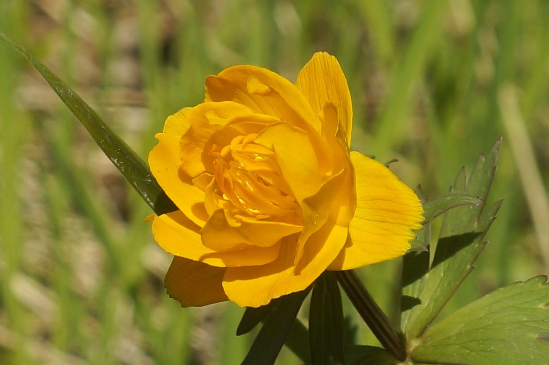 Купальница азиатская жарок цветы лето лес купальница азиатская