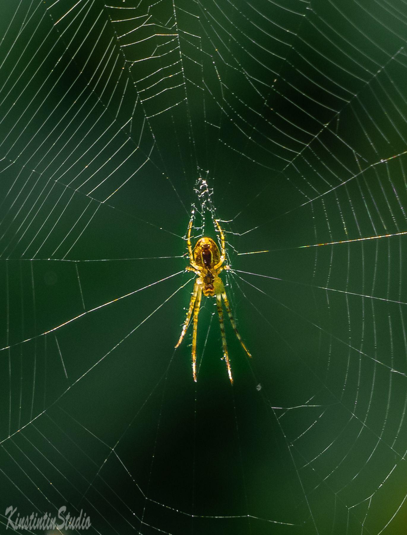 Вот такой паук! В струнку... паук паутина осень сентябрь