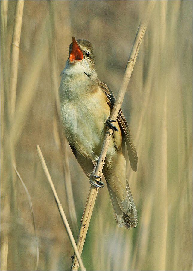 Дроздовидная камышовка тростник самец птица Польша озеро вода весна Бытом Дроздовидная камышовка