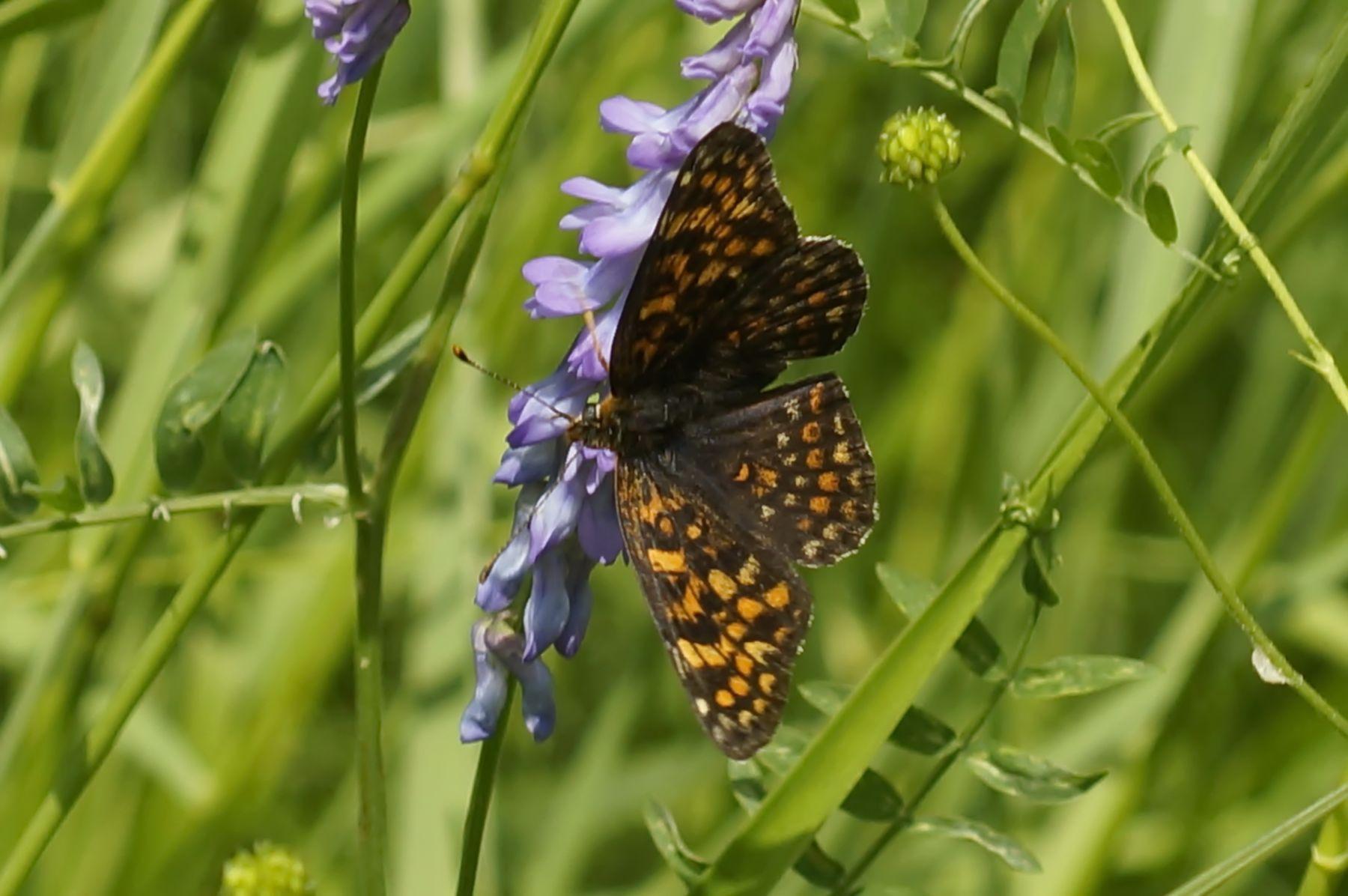 Шашечница шашечница бабочка цветы лес лето