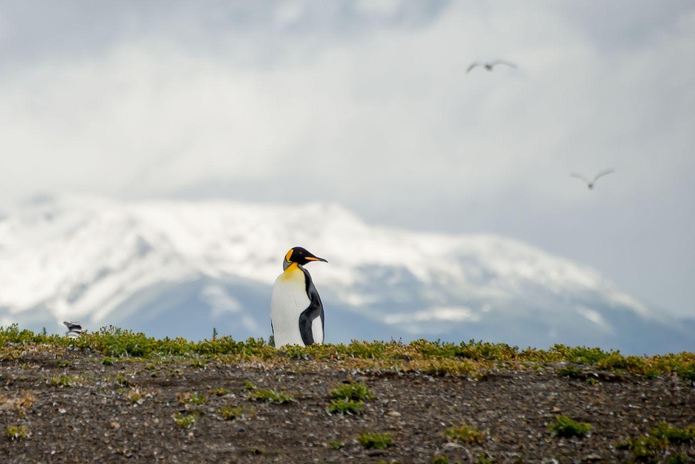 *** Пингвин Аргентина Огненная земля