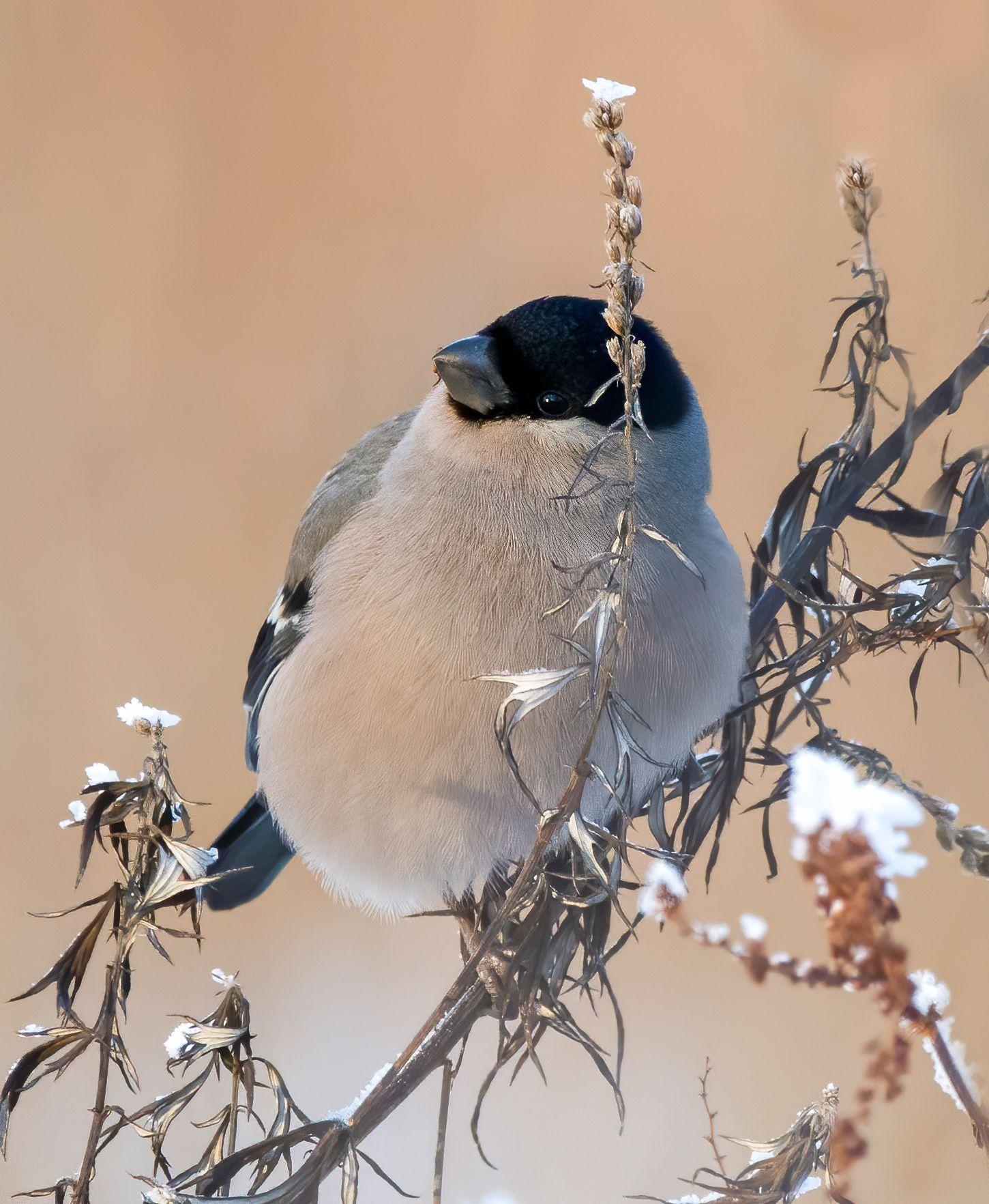 Снегирка птицы природа зима весна лес Москва снегирь