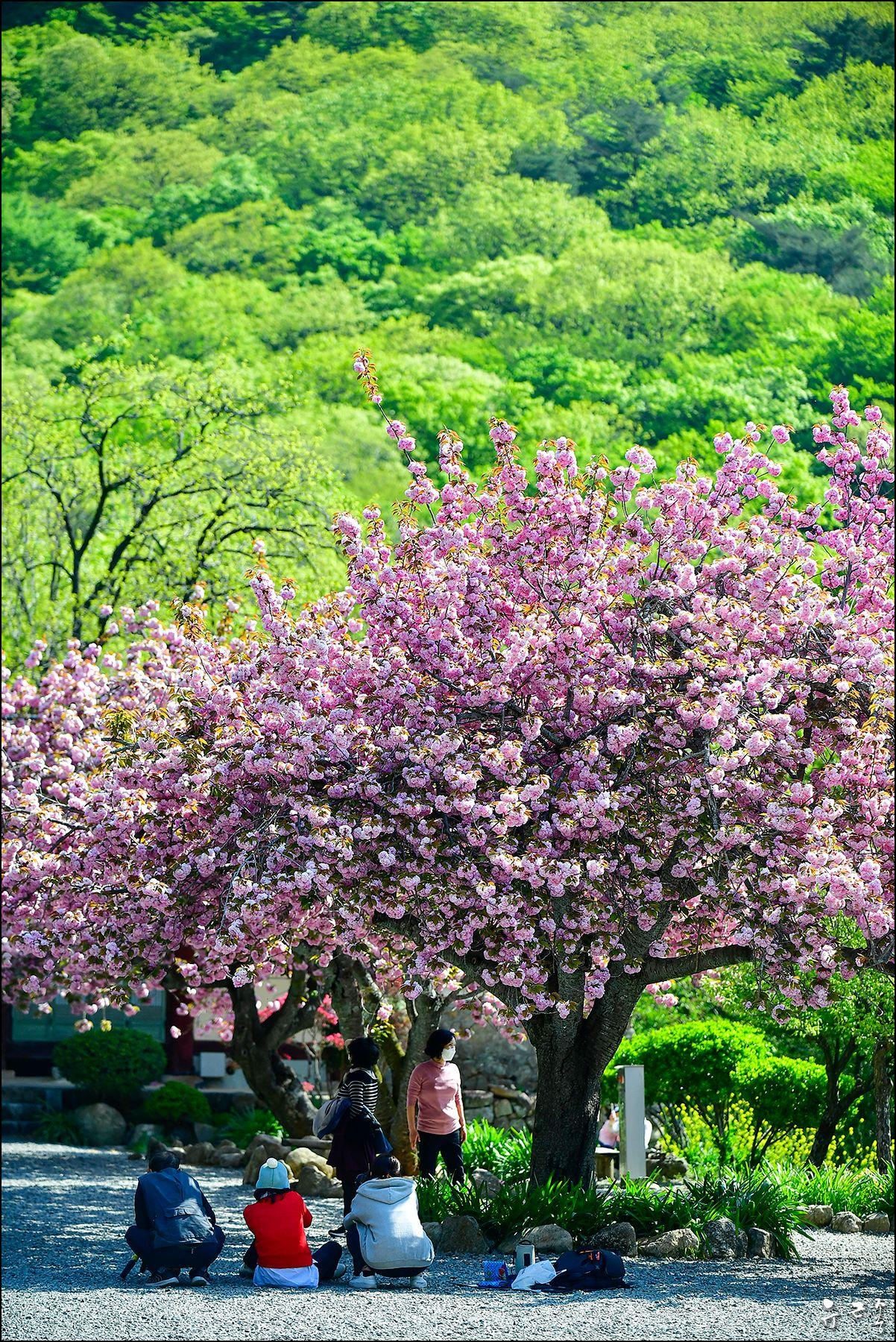 В И Ш Н Я ВИШНЯ Корея Весна