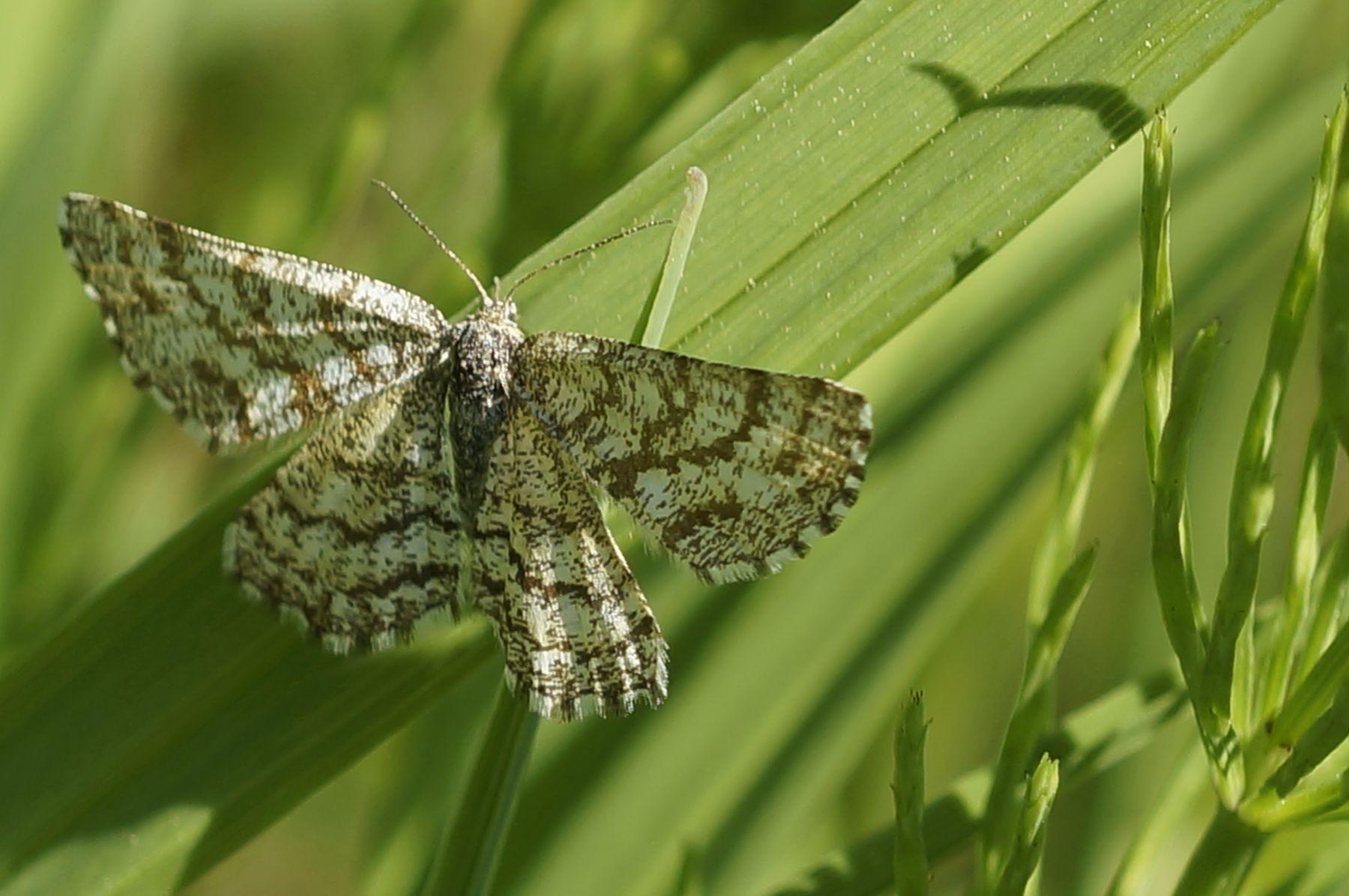 Пяденица пяденица бабочка лето лес трава